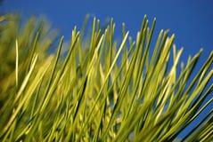 Grüne Kiefernadeln Stockfotos
