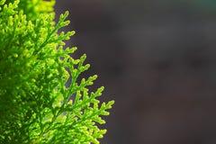 Grüne Kiefernblätter auf dunklem Hintergrund stockbild