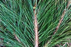 Grüne Kiefernblätter aus den Grund stockfotos