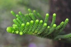 Grüne Kiefernknospen stockfotografie