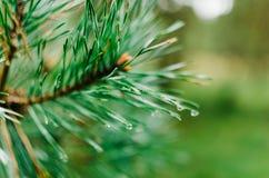 Grüne Kiefernniederlassung mit undeutlichem Hintergrund Lizenzfreies Stockfoto