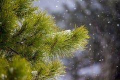 Grüne Kiefernniederlassungen mit leicht fallendem Schnee stockbilder