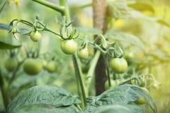 Grüne Kirschtomaten, die im Garten wachsen Lizenzfreie Stockfotografie