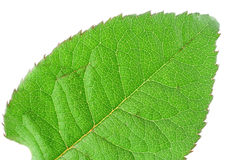 Grüne klare Blattdetails Lizenzfreie Stockfotos