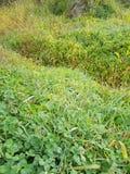 Grüne Kleeblätter und grünes Gras in den Morgentautropfen stockbilder