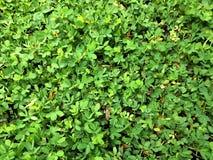 Grüne kleine Blätter Lizenzfreies Stockfoto