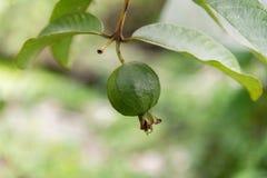 Grüne kleine Guajava-Frucht auf Baum und grünes Blatt lizenzfreies stockfoto