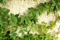 Grüne Kletterpflanze Lizenzfreie Stockfotografie