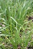 Grüne Knoblauchsprößlinge Stockfoto