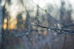 Grüne Knospe auf einem Baumast lizenzfreie stockfotografie