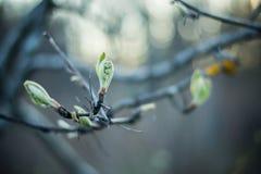 Grüne Knospe auf einem Baumast im oark stockbild
