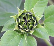 Grüne Knospe einer Sonnenblume Stockfoto