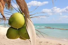 Grüne Kokosnüsse, die am Baum mit dem Meer im Hintergrund hängen Stockbilder