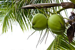 Grüne Kokosnuss auf Baum Lizenzfreie Stockfotos