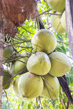 Grüne Kokosnuss auf Palme Lizenzfreies Stockfoto