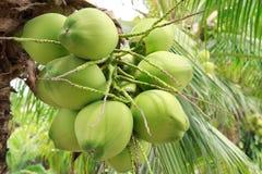 Grüne Kokosnuss am Baum stockfotografie