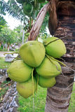 Grüne Kokosnuss am Baum Stockbilder