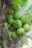 Grüne Kokosnuss am Baum Stockbild