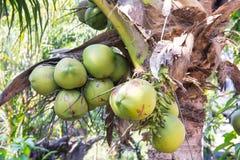 Grüne Kokosnuss an der Palme Lizenzfreie Stockfotos