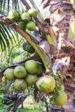 Grüne Kokosnuss an der Palme Stockfotos