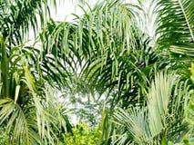 Grüne Kokosnusspalmblätter und Niederlassungshintergrund Palme ist tropische Laubanlage mit gefiedertem Blatt Lizenzfreie Stockfotos