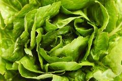 Grüne Kopfsalatsommerendivie stockbilder