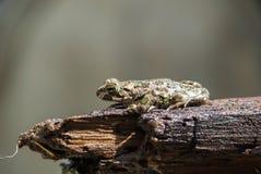 Grüne Kröte - Frosch Lizenzfreie Stockbilder