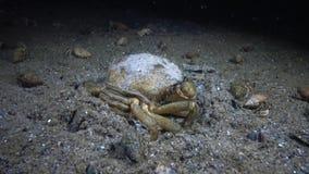 Grüne Krabbe Carcinus-maenas begraben im Sand auf dem Meeresgrund stock video footage