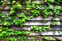 Grüne Kriechpflanze auf hölzerner Wand lizenzfreies stockfoto