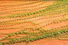 Grüne Kriechpflanze auf orange Betonmauer Lizenzfreies Stockbild