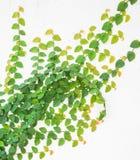 Grüne Kriechpflanze auf weißer Wand Stockbild