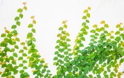 Grüne Kriechpflanze auf weißer Wand Stockfoto