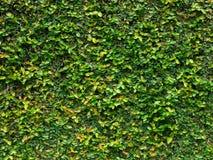 Grüne Kriechpflanzeblätter Stockfoto