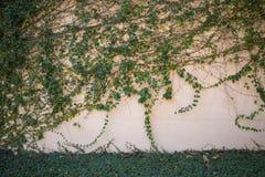 Grüne Kriechpflanzen-Anlage auf der Betonmauer Lizenzfreie Stockfotos