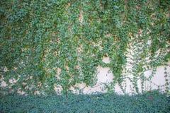 Grüne Kriechpflanzen-Anlage auf der Betonmauer Lizenzfreies Stockfoto