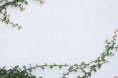 Grüne Kriechpflanzen-Anlage auf weißer Wand Stockfotos