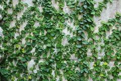 Grüne Kriechpflanzenanlage auf Wand Lizenzfreie Stockfotos