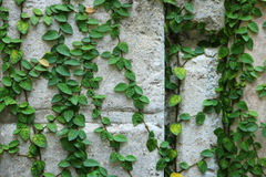 Grüne Kriechpflanzenanlage auf Wand Stockbilder