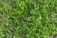 Grüne Kriechpflanzenanlage, die den Boden mit Blättern umfasst Stockfoto