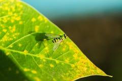 Grüne langbeinige Fliegen Stockfoto