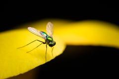 Grüne lange mit Beinen versehene Fliege Stockfotos