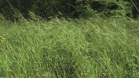Grüne lange Unkrautkräuter durchgebrannt durch den Wind stock video footage