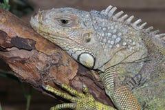 Grüne Leguan-Reptil-Porträt-Nahaufnahme Stockbilder