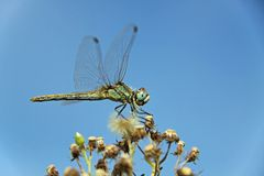 Grüne Libelle Lizenzfreie Stockfotografie