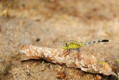 Grüne Libelle stockfoto