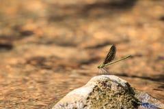 Grüne Libelle auf dem Felsen Stockbild