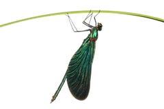 Grüne Libelle auf einem Gras Lizenzfreie Stockfotografie