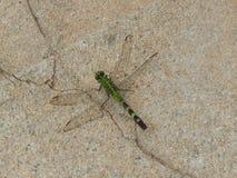Grüne Libelle auf einem rauen Steinhintergrund Lizenzfreies Stockbild