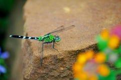 Grüne Libelle auf Felsen Stockfoto