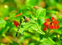 Grüne Libelle auf Lantana Lizenzfreies Stockbild